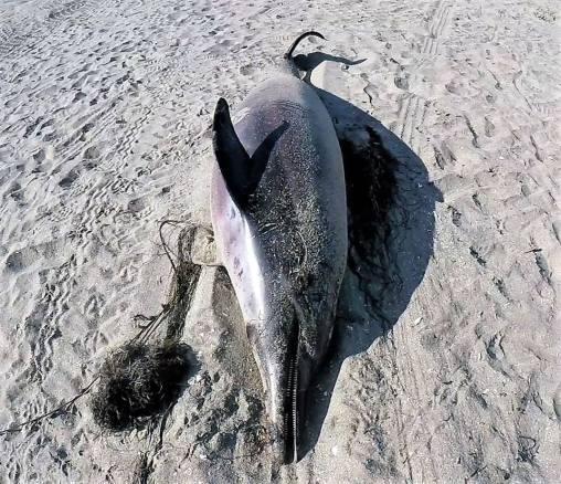 dead-dolphin